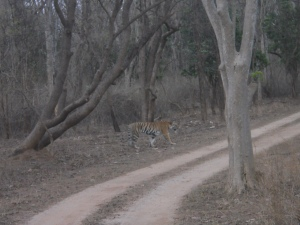 The tiger in Pench. Clicked by junior.